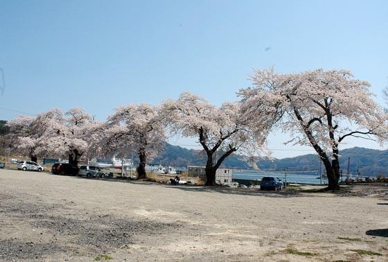 昨年、満開の花を咲かせた5本のサクラは3月9日に伐採されました=2014年4月24日、大槌町赤浜の旧赤浜小学校校庭