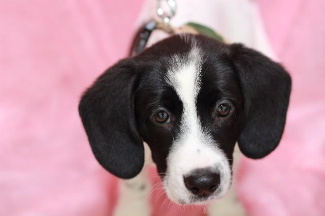 世界初、イヌが体外受精で代理母出産 新技術「ヒトの病気治療」に応用も