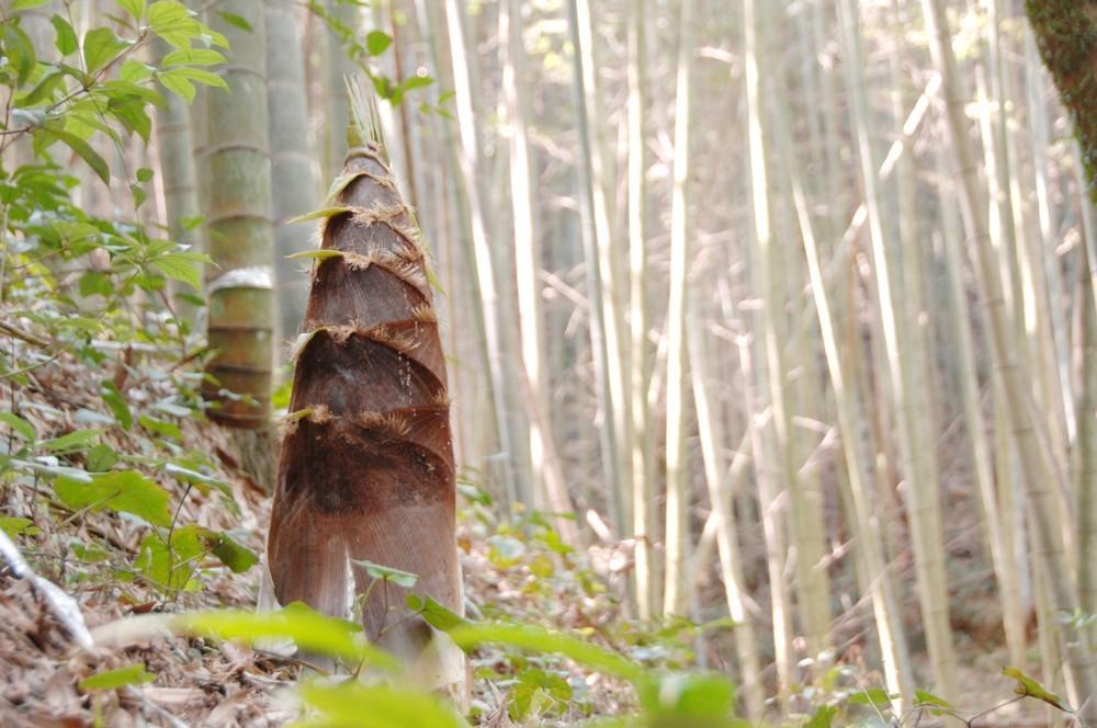 クマは怖いが「やめられない」タケノコ狩り 秋田で被害が相次ぐ食文化事情