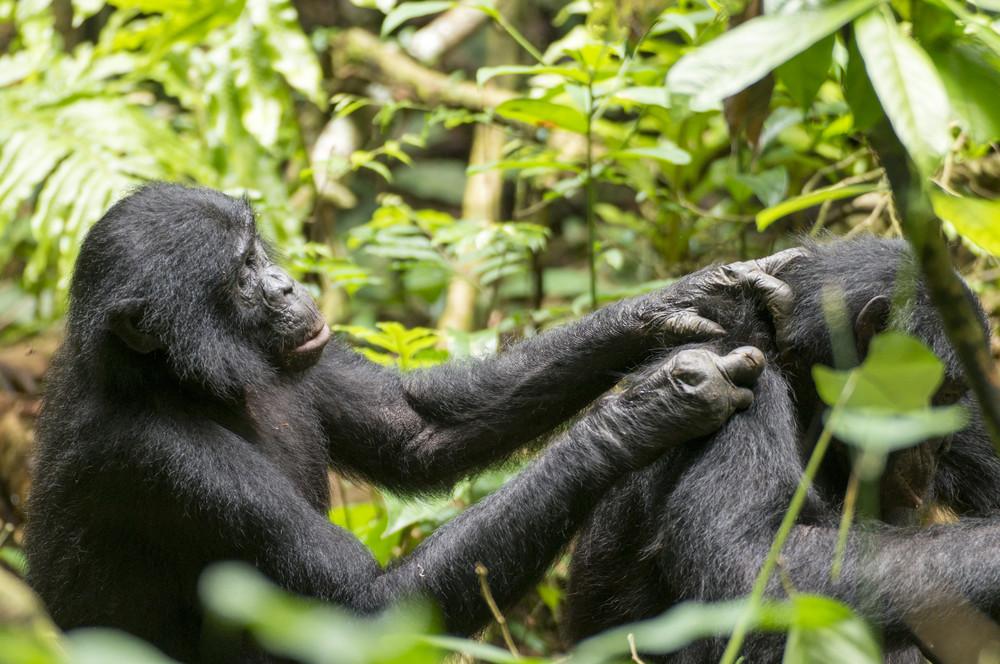 本を読まない類人猿も老眼になる 京大研究所「毛づくろい」見て判定
