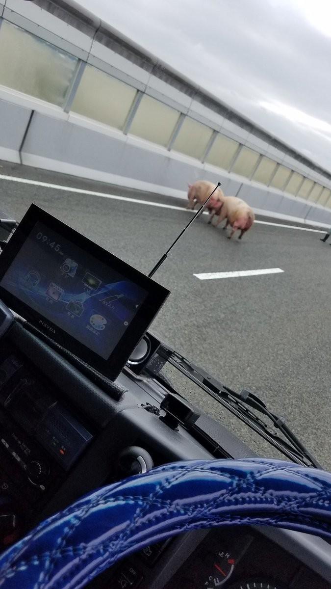 高速道路に豚、ブタ、豚... 19頭の捕獲騒動が起きたワケ