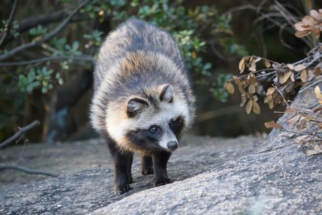 ヒアリで注目される外来生物の侵略 日本の在来種も海外で大迷惑に