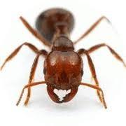 アンジェリカさんら乾癬患者に朗報   なんとヒアリの猛毒に効能あり!
