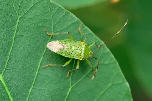 九州で「虫害」相次ぐ カメムシに外来種のハチ