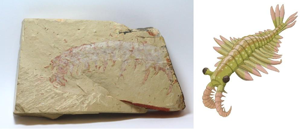 アノマロカリスの化石が展示される