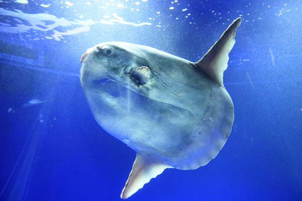 「えー!あのマンボウ死んじゃったの...」 サンシャイン水族館が解剖、死因は...