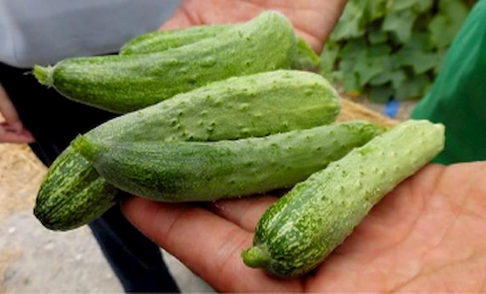 伝統野菜である「余蒔キュウリ」