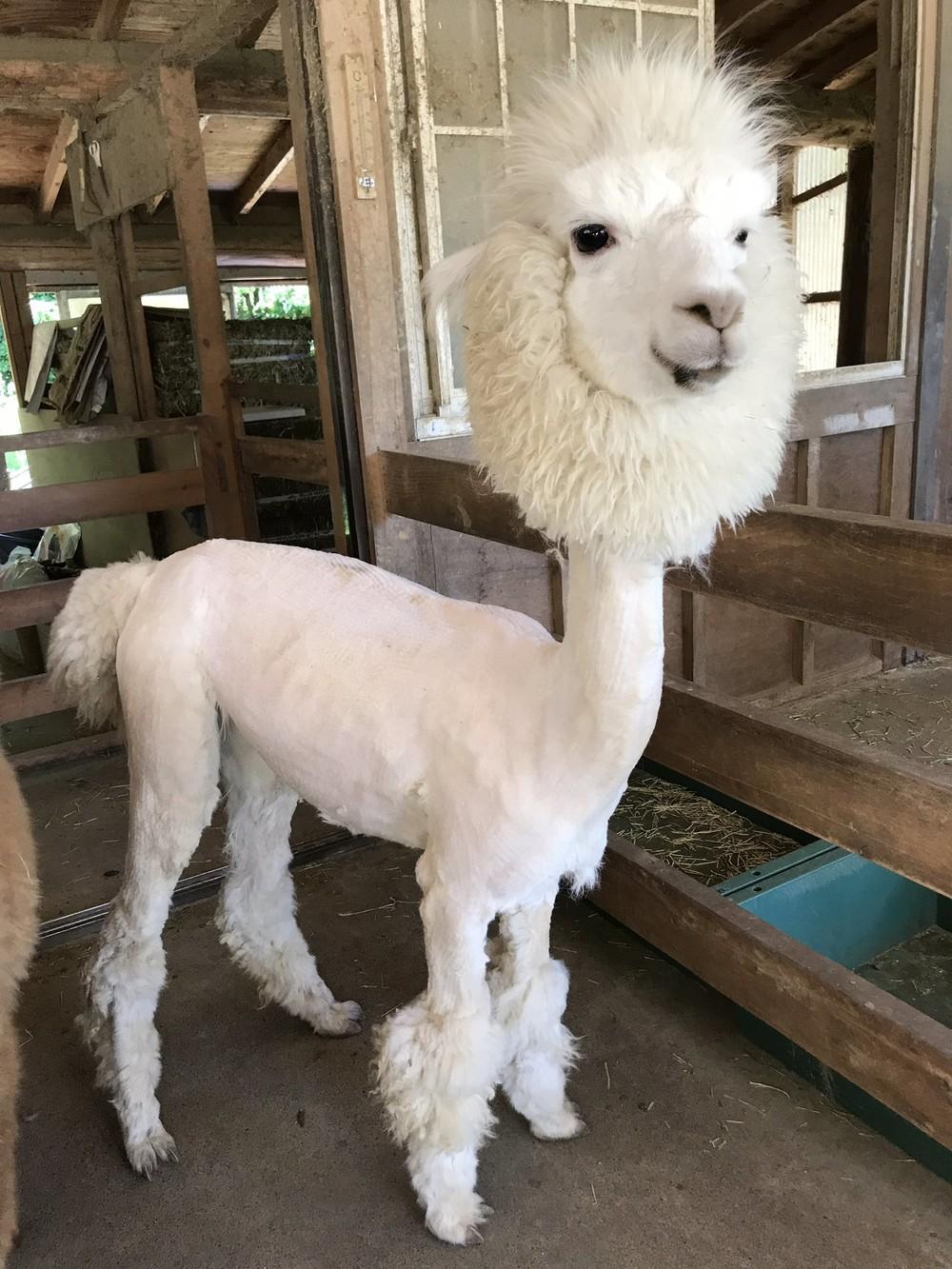 頭だけモフモフの「毛刈りされたアルパカ」 熱中症にならないの?飼育員に聞くと...