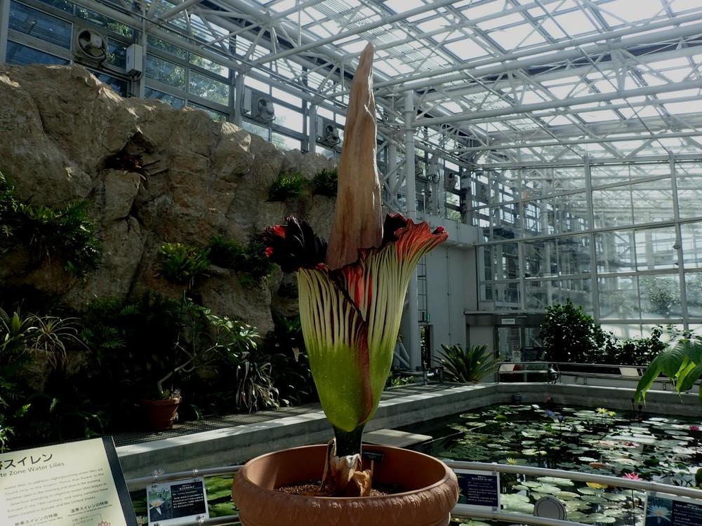 開花ピークの「ショクダイオオコンニャク」は高さ2メートル20センチ(神代植物公園27日8時撮影、提供)
