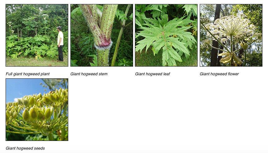 ジャイアント・ホグウィードの成長した姿、幹、葉、花、種(左上から、米ニューヨーク州環境保全省の公式サイトより)