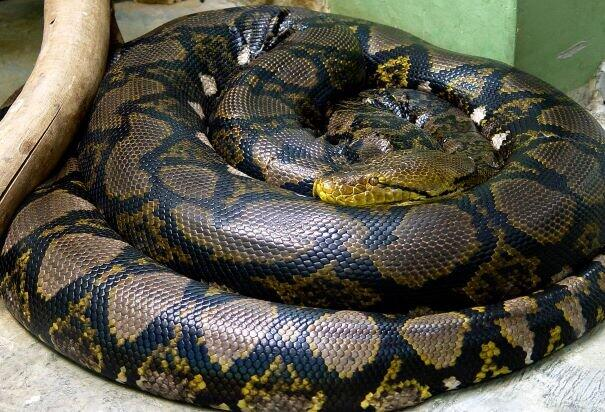 アミメニシキヘビ(Wikimedia Commonsから、Marilunaさん撮影)