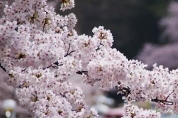 会社帰りの夜桜見物にもセオリーあり 敵は花冷え、食べこぼし、それから・・・
