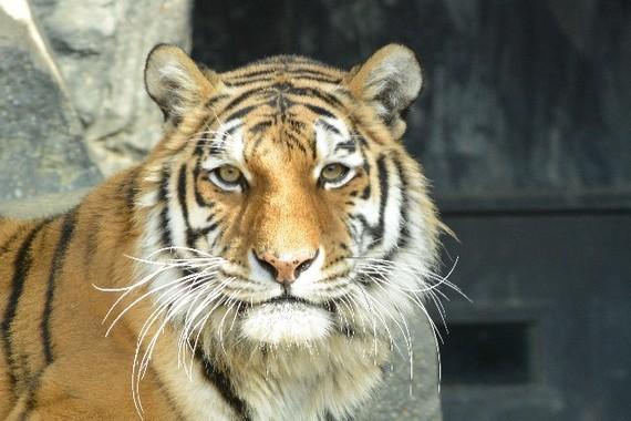 「冷徹な虎」は今…