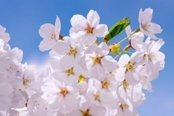 2017年、桜の名所・お花見スポットを下調べ