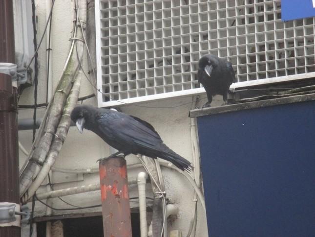 早朝、高い場所から「食料」を探すカラス。(東京・池袋で)