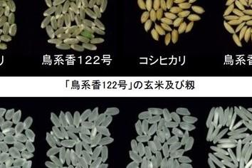 鳥取県、「カレーに合うコメ」開発 「ポップコーンのような香り」とは?