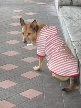 台湾にも衣服を着せられた犬がいた。(2018年1月、台北で)
