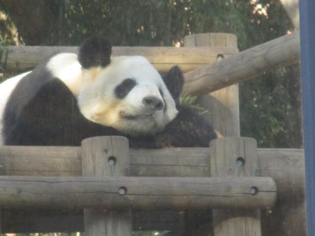 上野動物園のパンダ。ただし、シャンシャンではなく、近ごろは「のけ者」ぎみの父親のリーリーである。(筆者撮影)