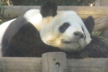 その42 動物園のパンダ 「こんなものいらない!?」(岩城元)