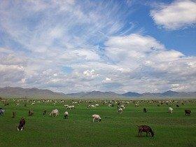 遊牧民は何百頭という羊やヤギを飼っている。突き抜ける青空の下、草をほおばる