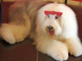 日本オラクルの社員犬キャンディ 2歳のバースデーを祝う
