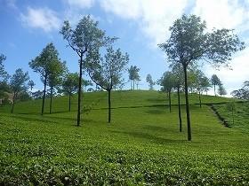 茶の栽培は、日本はもちろん世界中に広がった
