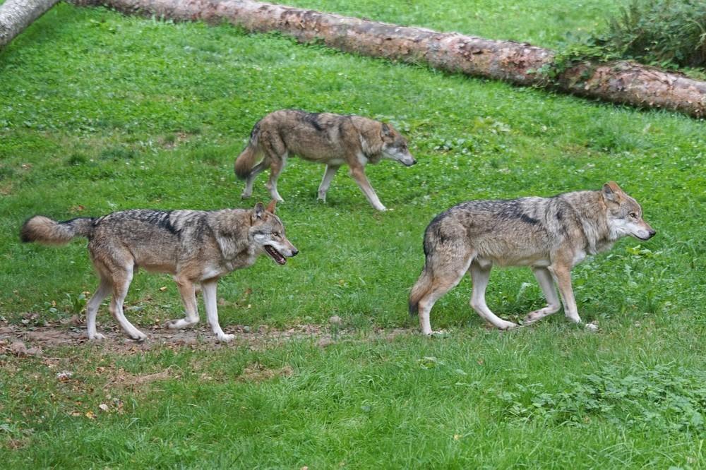 群れにいながら自分の力で成果を出すのが狼