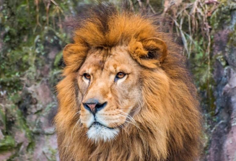 理想の上司2位のライオン