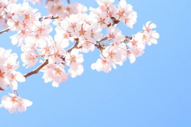 東京の桜は満開になった