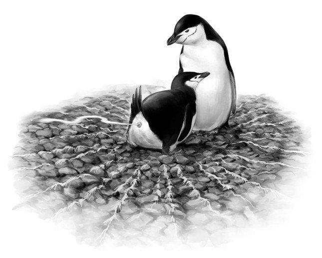 勢いよくフンを飛ばすヒゲペンギン