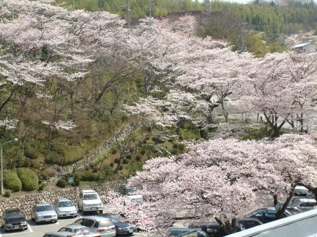 昨年度までの園内の桜の様子