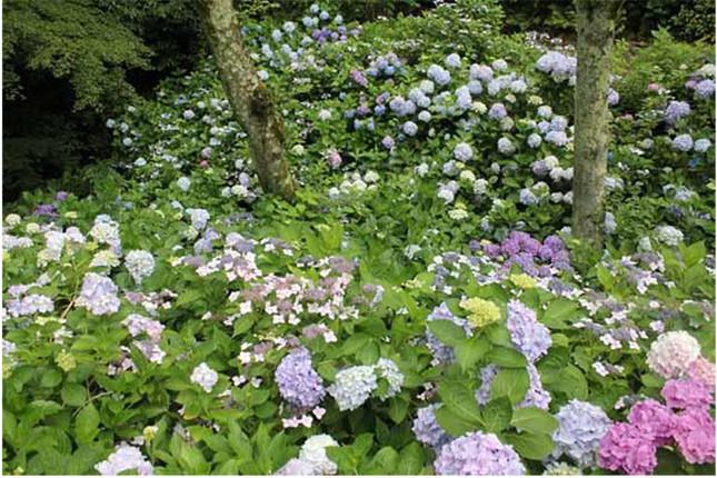 1000株の紫陽花が咲き誇る散策路