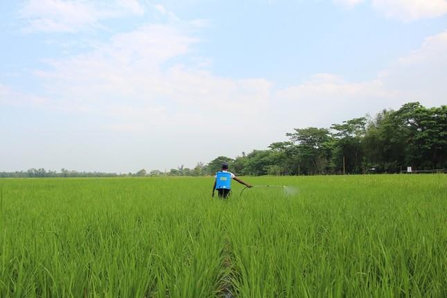 適切な間隔で苗を植え、「万田31号」を使用した田んぼ