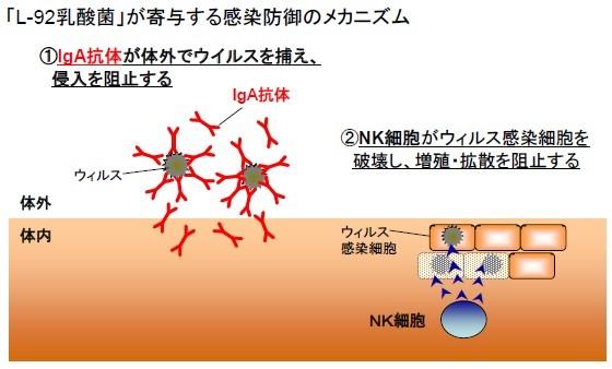 「L-92乳酸菌」が寄与する感染防御のメカニズム
