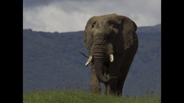 悠然と歩くアフリカゾウ