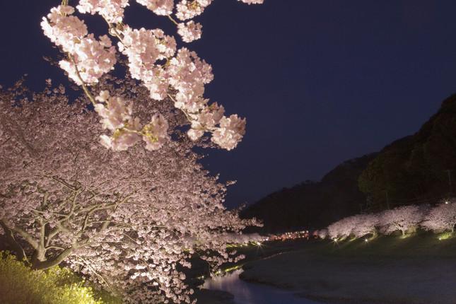 夜桜鑑賞の無料送迎が付く