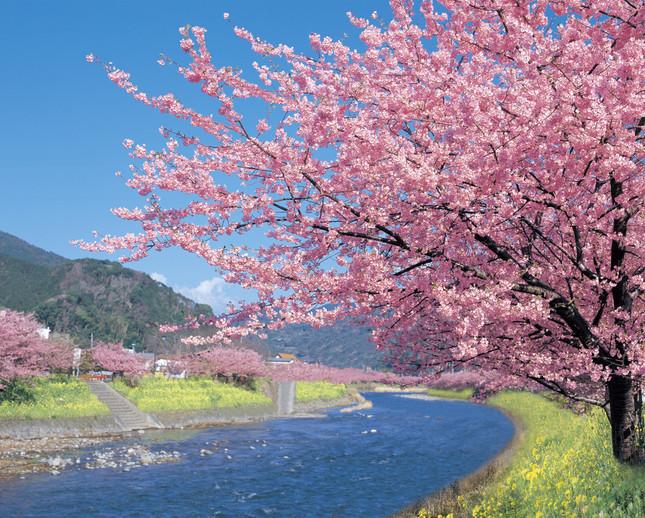 早咲きの河津桜は伊豆の風物詩