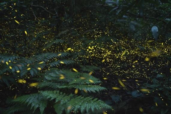 数万匹のホタルがイルミネーションのように輝く