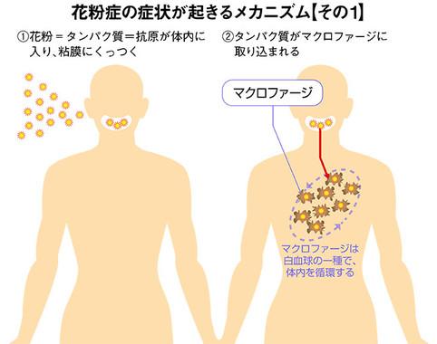 「花粉症の症状が起きるメカニズム」その1(イラストは編集部作成)