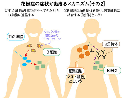 「花粉症の症状が起きるメカニズム」その2