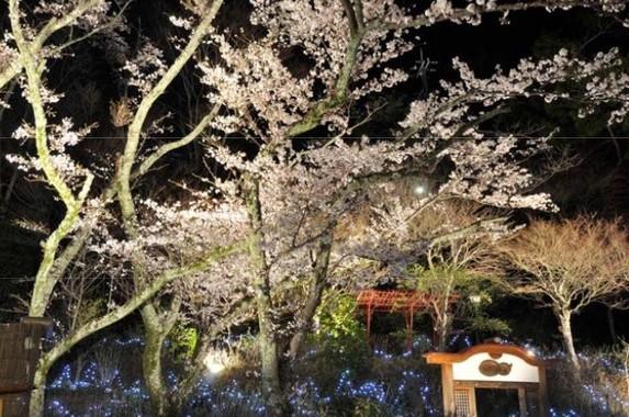約150本の桜を30基の大型照明でライトアップ