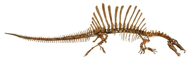 スピノサウルス全身(Courtesy of The University of Chicago /photo by Mike Hettwer)