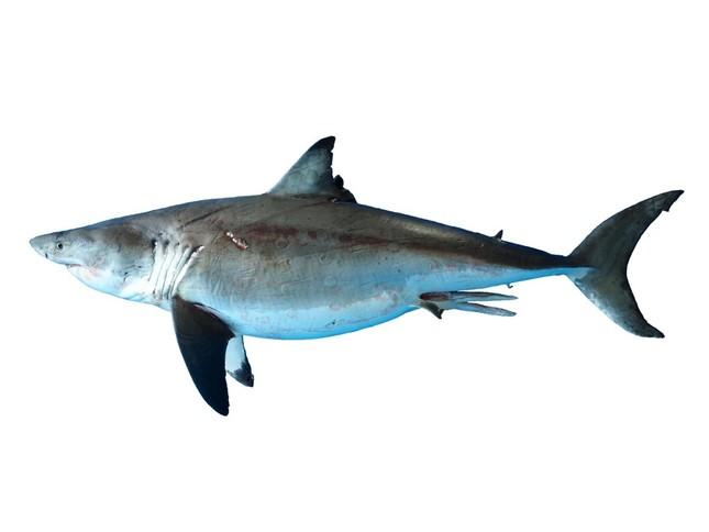 ホホジロザメ成魚の標本は初公開