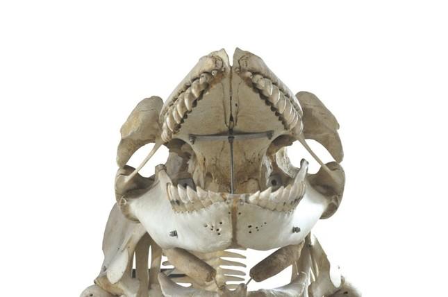 シャチ骨格(所蔵:国立科学博物館)