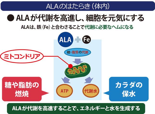 ALAは、細胞内のミトコンドリアを活性化させる