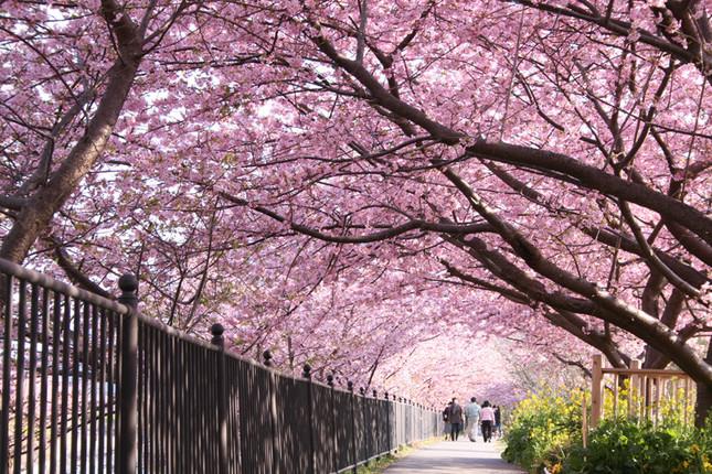 2月上旬から約1か月かけて満開になる早咲きの河津桜