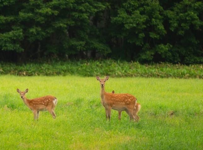 本州のシカより大きく毛並みも違うエゾシカは、見られる確率の高い動物
