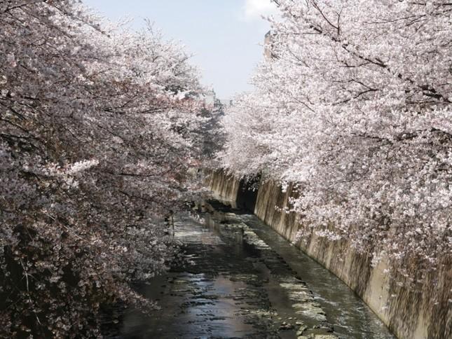 ホテルから徒歩2分の神田川沿いの桜並木