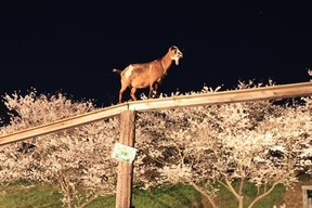 ヤギと夜桜