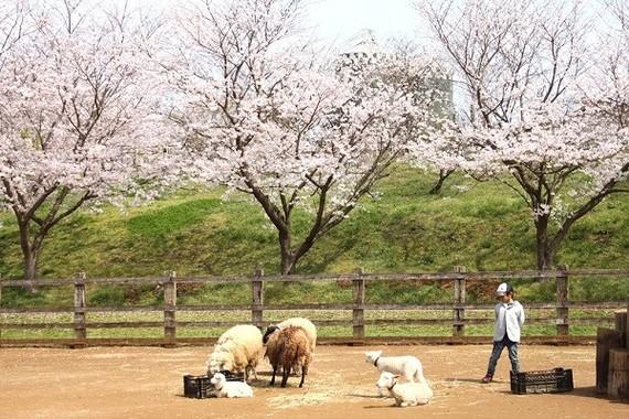 昼間の桜と動物たち